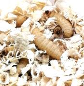 Bienenmaden einzel