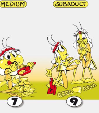 Wuestenheuschrecken-alle-4